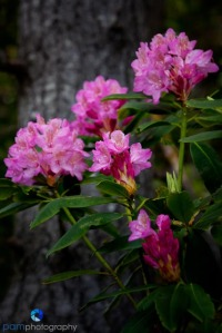 Oregon Rhododendrons