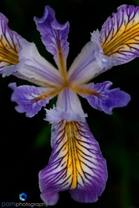 Wild Tenex Iris