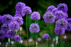 Purple Alium at the Schreiners' Garden