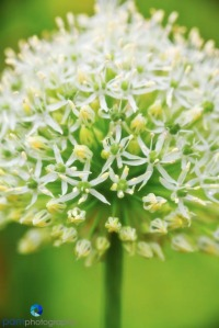 Close-up of White Alium