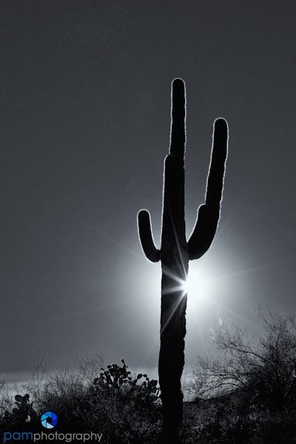 Saguaro back lit