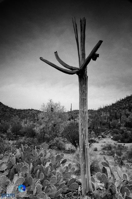 This is a skeleton of a Saguaro after it dies.  This was taken on an overcast day.
