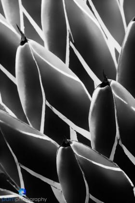 Queen Victoria Agave Cactus