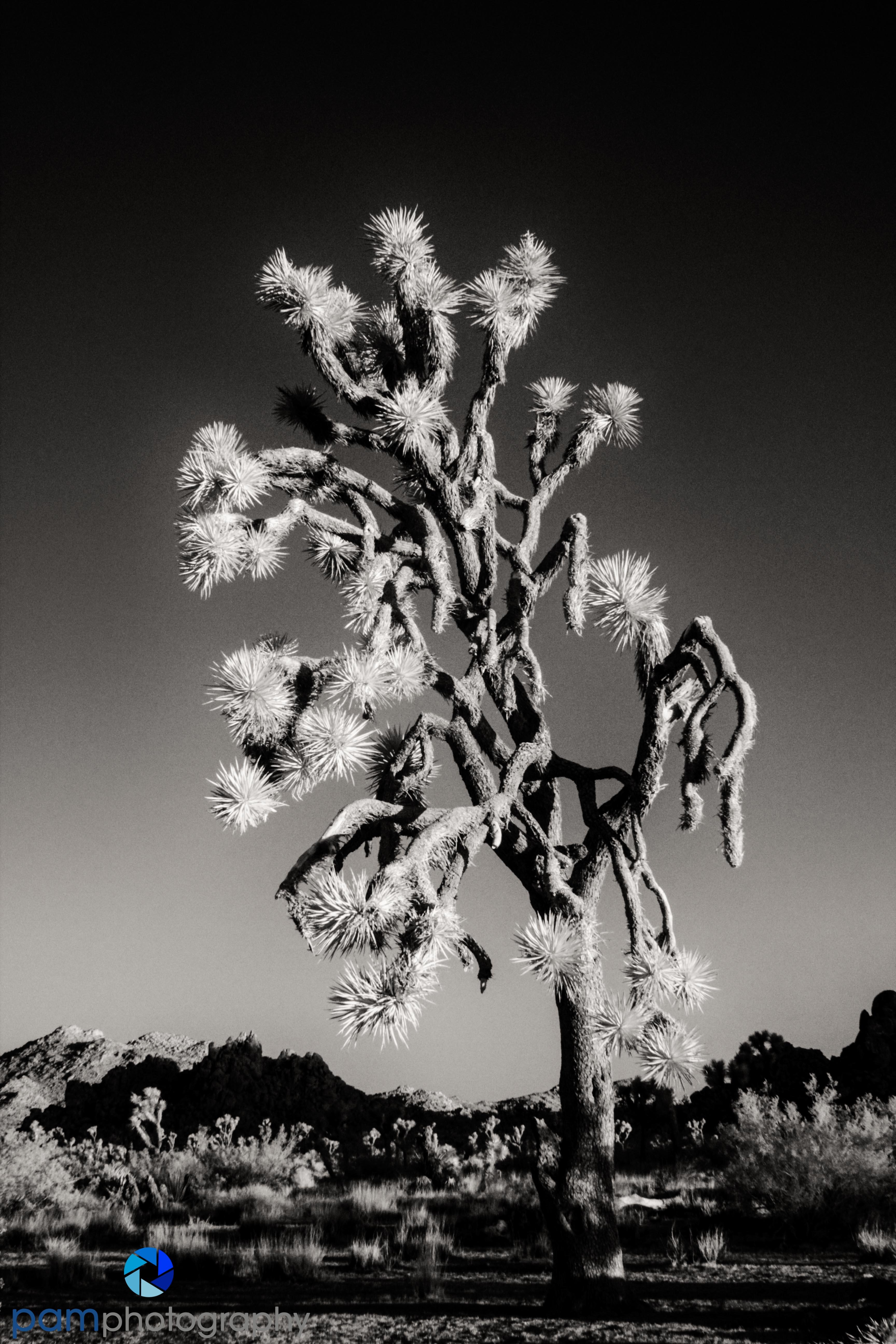 Joshua Tree near Hidden Valley Campground