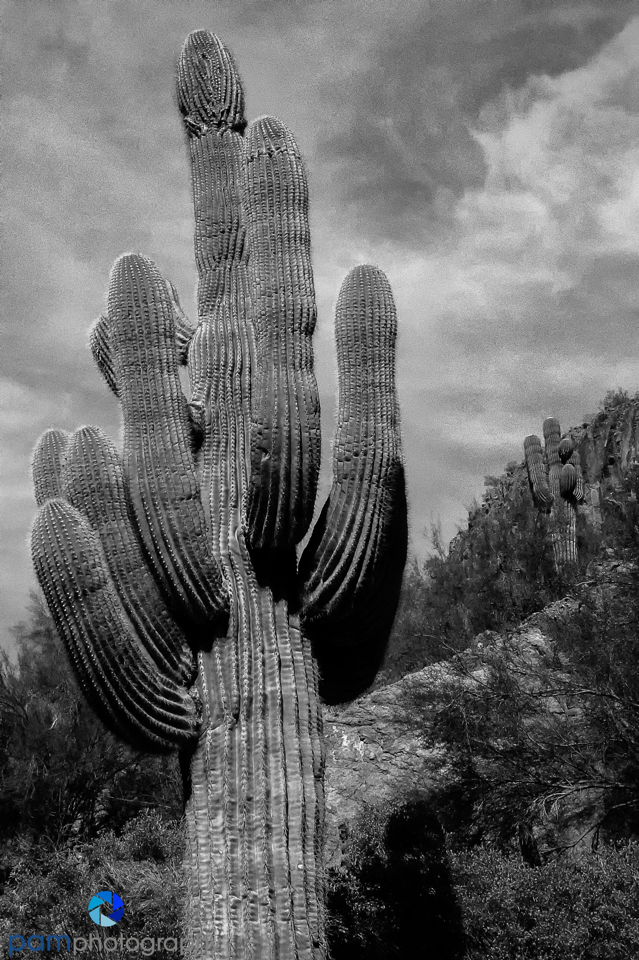 Saguaro in Scottsdale, AZ