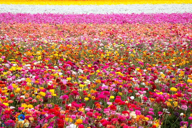 Merveilleux Photographing The Flower Fields In Carlsbad, CA
