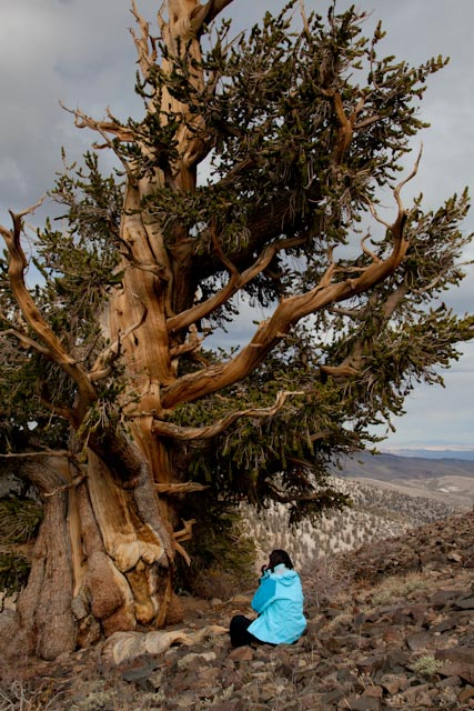 Mary under an ancient Bristlecone Pine, Whte Mountains, CA