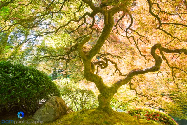 "The ""world famous"" maple at the Portland, OR Japanese Garden"