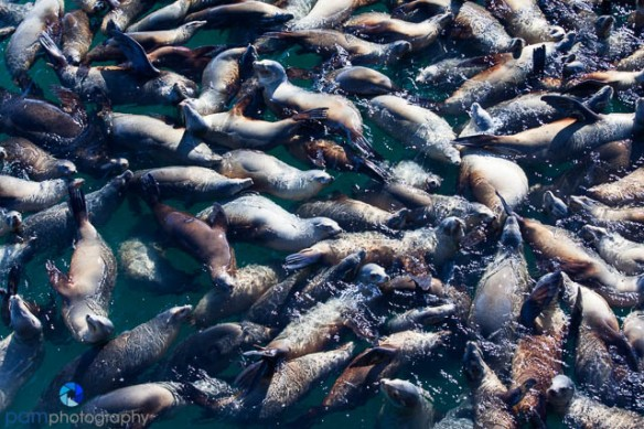 There was a large school of sea lions just off of the pier