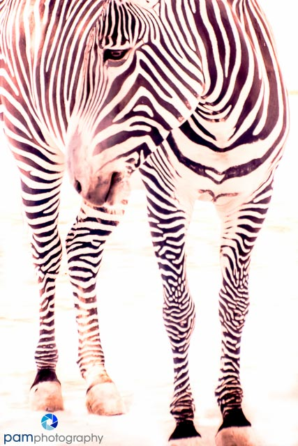 Color infrared image of zebra