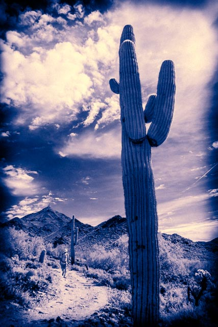 Monotone of hiker and saguaro