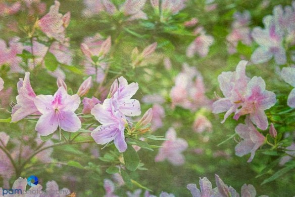Textured painterly image of pink and purple azaleas