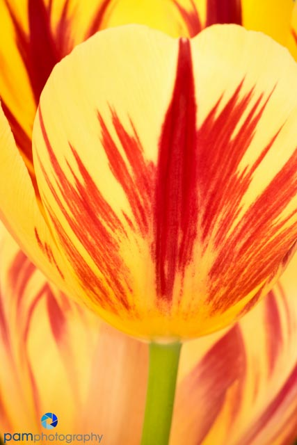 Red and Yellow tulip abstracts