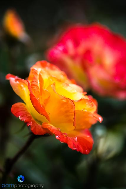 Yellow and red rose with water drops