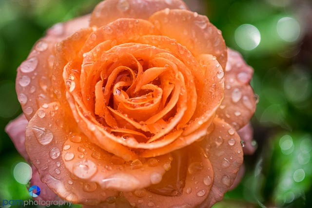 Orange rose with water drops