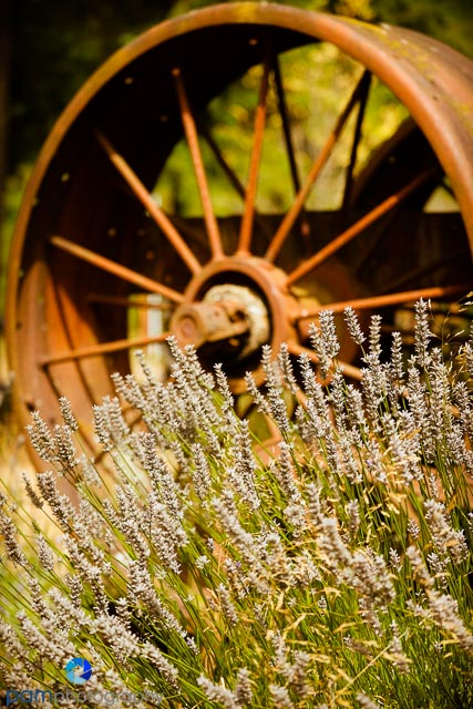 Old wheel with lavender