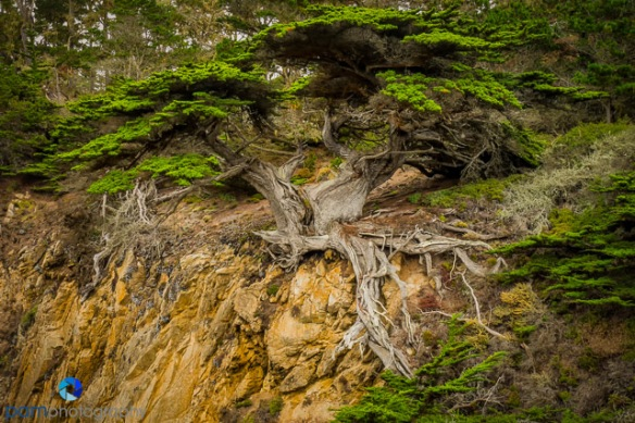 Old Veteran Monterey Cypress