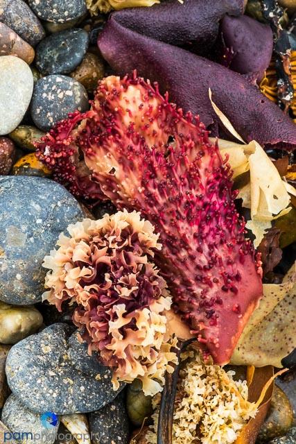 Colorful red kelp