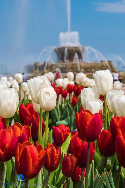 Springtime tulips at the Buckingham Fountain in Chicago