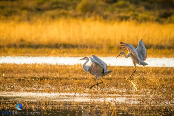 Evening landing for two Sandhill Cranes in Bosque de Apache New Mexico